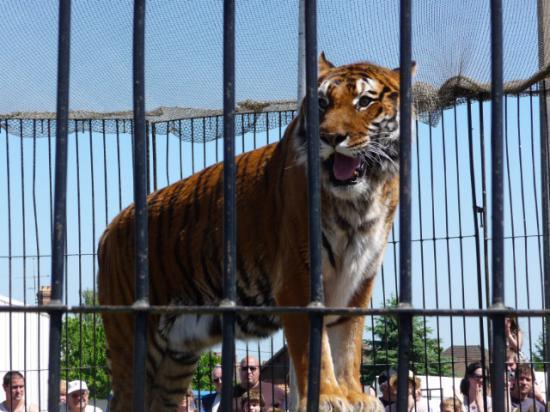Les tigres de Venoy