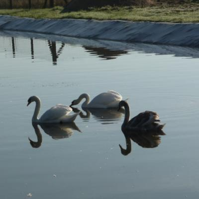 Les cygnes sur la lagune de la station d'épuration